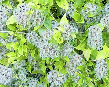Wild clematis (Clematis vitalba) Larochemillay, France, September.
