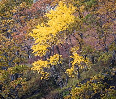 Aspen (Populus tremula) Wester Ross, Scotland, UK. November.