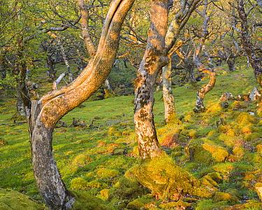 Sessile oak trees (Quercus petraea) Loch na Keal, Mull, Scotland