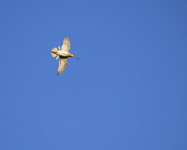 Snipe (Gallinago gallinago) in flight 'drumming display', with blue sky, Iceland, June.