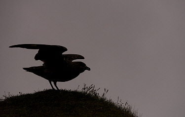 Great skua (Stercorarius skua) silhouetted, Iceland, June.