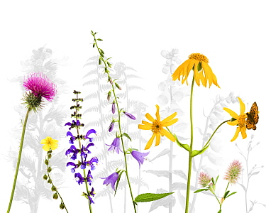 Selection of wildflowers against white background, including Thistle (Cirsium), Common rockrose (Helianthemum chamaecistus), Meadow clary (Salvia pratensis) Creeping hairbell (Campanula rapunculoides)...