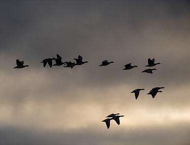 Barnacle geese (Branta leucopsis) flying at dawn, Islay, Argyll, Scotland