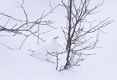 RF - Rock ptarmigan (Lagopus muta) camouflaged in snow, Dimmuborgir, Iceland (This image may be licensed either as rights managed or royalty free.)