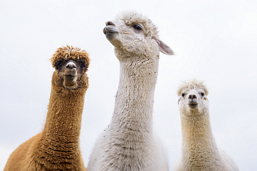RF - Alpacas (Vicugna pacos) group of three, Newton Farm, Inverarity, Angus, Scotland, UK, May. (This image may be licensed either as rights managed or royalty free.)