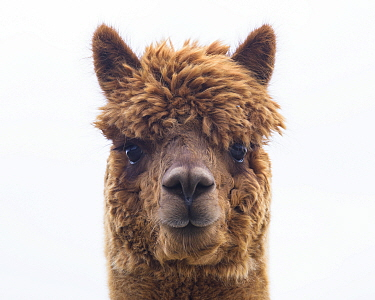 RF - Alpaca (Vicugna pacos) domestic animal, head portrait, Newton Farm, Inverarity, Angus, Scotland, UK, May. (This image may be licensed either as rights managed or royalty free.)