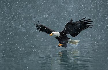 Bald eage (Haliaeetus leucocephalus) flying over water in falling snow. Kachemak Bay, Alaska, USA. February.