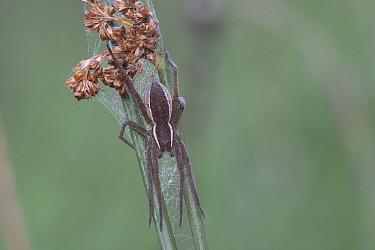 Raft spider (Dolomedes fimbriatus) with web on Rush (Juncus sp). Klein Schietveld, Brasschaat, Belgium. September.