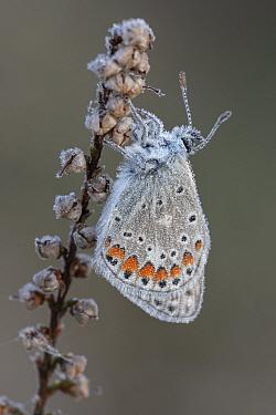 Common blue butterfly (Polyommatus icarus) resting on Heather, dew on wings. Klein Schietveld, Brasschaat, Belgium