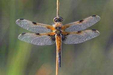 Four spotted chaser (Libellula quadrimaculata) resting on stem, wings covered in dew. Klein Schietveld, Brasschaat, Belgium. May.