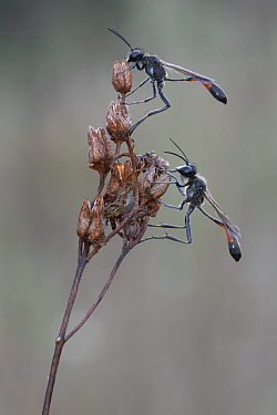 Red banded sand wasp (Ammophila sabulosa), two on dead flowerhead. Klein Schietveld, Brasschaat, Belgium. May.