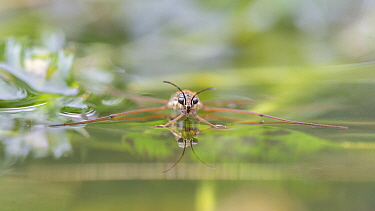 Pond skater (Gerris sp) reflected on water surface. Brasschaat, Belgium.