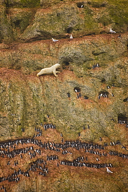 Polar bear (Ursus maritimus) sub adult male climbing cliff to reach eggs in seabird nesting colony.This bear was marooned on land, unable to feed on seals -- his normal prey -- because the sea ice had...
