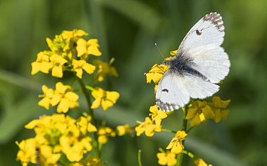 Orange-tip (Anthocharis cardamines) butterfly female nectaring on yellow flowers. Hautajarvi, Central Finland. June.