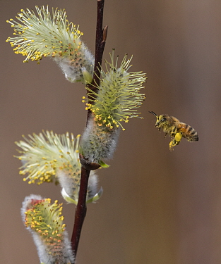 Honey bee (Apis mellifera) with laden pollen sacs flying towards Pussy willow (Salix caprea) catkins. Jyvaskyla, Central Finland. April.