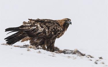 Golden eagle (Aquila chrysaetos) standing in snow amongst fur of prey. Kuusamo, Northern Ostrobothnia, Finland. February.