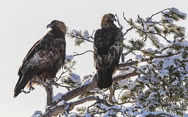 Golden eagle (Aquila chrysaetos) pair perched in snow covered tree. Kuusamo, Northern Ostrobothnia, Finland. February.