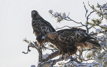 Golden eagle (Aquila chrysaetos) pair in snow covered tree. Kuusamo, Northern Ostrobothnia, Finland. February.