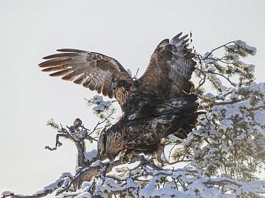 Golden eagle (Aquila chrysaetos) pair mating in snow covered tree. Kuusamo, Northern Ostrobothnia, Finland. February.