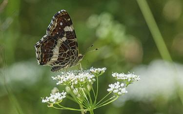 Map (Araschnia levana) butterfly nectaring on Umbellifer, second generation. Lielahti, Aboland, Finland. July.