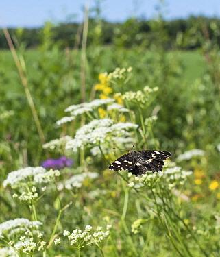 Map (Araschnia levana) butterfly in flight amongst wildflowers, second generation. Lielahti, Aboland, Finland. July.