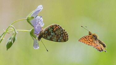 Pearl-bordered fritillary (Boloria euphrosyne) butterfly, pair, in flight and nectaring. Jyvaskyla, Central Finland. June.
