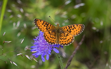 Titania's fritillary (Boloria titania) butterfly, male resting on Scabious flower. Kitee, North Karelia, Finland. July.
