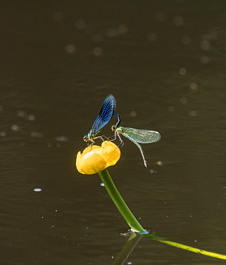 Banded demoiselle damselfly (Calopteryx splendens) mating, on Yellow water-lily (Nuphar lutea). Joutsa, Central Finland. June.