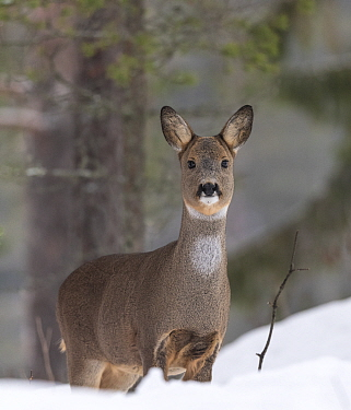 European roe deer (Capreolus capreolus) standing in snow, in winter pelage. Multia, Central Finland. February.