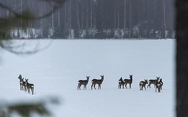 European roe deer (Capreolus capreolus) herd standing in snow. Multia, Central Finland. February.