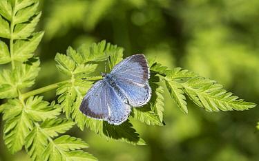 Holly blue (Celastrina argiolus) butterfly, female on leaf. Jyvaskyla, Central Finland. May.