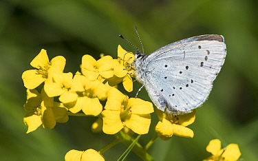Holly blue (Celastrina argiolus) butterfly, female nectaring. Jyvaskyla, Central Finland. May.