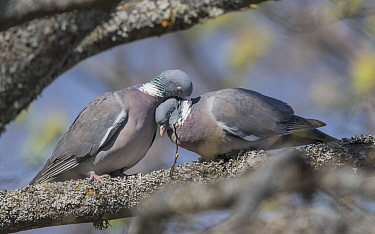 Wood pigeon (Columba palumbus) pair in courtship. Aland Islands, Finland. April.