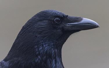 Carrion crow (Corvus corone), portrait. London, England, UK. March.
