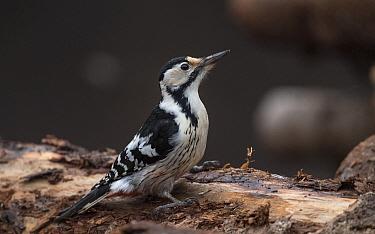 White-backed woodpecker (Dendrocopos leucotos) female on log. Jamsa, Central Finland. January.