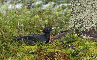 Black woodpecker (Dryocopus martius) female looking for Ants on ground. Jyvaskyla, Central Finland. November.