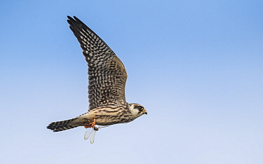 Red-footed falcon (Falco vespertinus) juvenile flying with dragonfly in talons. Jamsa, Central Finland. August.