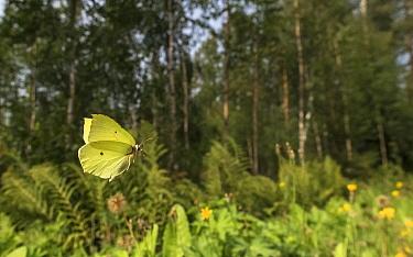 Brimstone (Gonepteryx rhamni) butterfly, male in flight at woodland edge. Jyvaskyla, Central Finland. August.