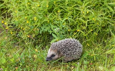 European hedgehog (Erinaceus europaeus) juvenile. Jyvaskyla, Central Finland. July.