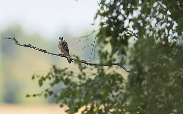 Red-footed falcon (Falco vespertinus) juvenile perched in tree. Jamsa, Central Finland. August.