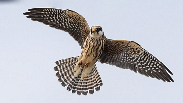 Red-footed falcon (Falco vespertinus) juvenile in flight. Jamsa, Central Finland. September.