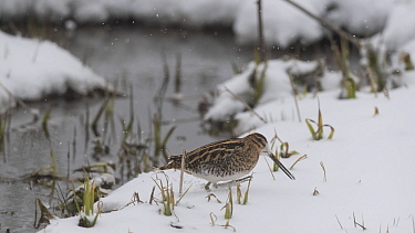 Common snipe (Gallinago gallinago) in snow. Savonlinna, Southern Savonia, Finland. May.