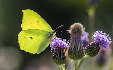 Brimstone (Gonepteryx rhamni) butterfly, newly emerged male nectaring on Thistle. Pargas, Aboland, Finland. July.