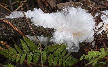 Hair ice crust fungus (Exidiopsis effusa). Jyvaskyla, Central Finland. November.