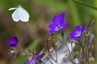 Wood white (Leptidea sinapis) butterfly female flying above Geranium flowers. Jyvaskyla, Central Finland. June.
