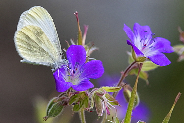 Wood white (Leptidea sinapis) butterfly female on Geranium flower. Jyvaskyla, Central Finland. June.