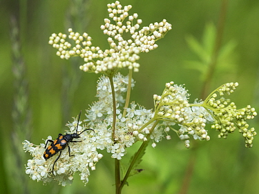Four-banded longhorn beetle (Leptura quadrifasciata) on Meadowsweet (Filipendula ulmaria). Jyvaskyla, Central Finland. July.