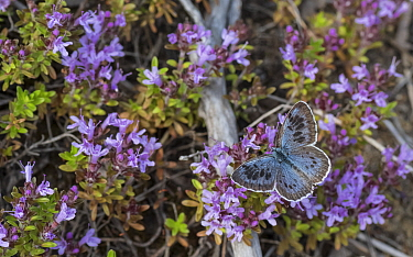 Large blue (Maculinea arion) butterfly nectaring on Thyme (Thymus sp). Liperi, North Karelia, Finland. July.