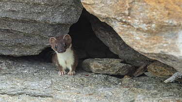 Stoat (Mustela erminea) emerging from rocks. Skibotn, Troms and Finnmark, Norway. August.