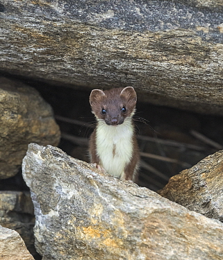 Stoat (Mustela erminea) amongst rocks. Skibotn, Troms and Finnmark, Norway. August.